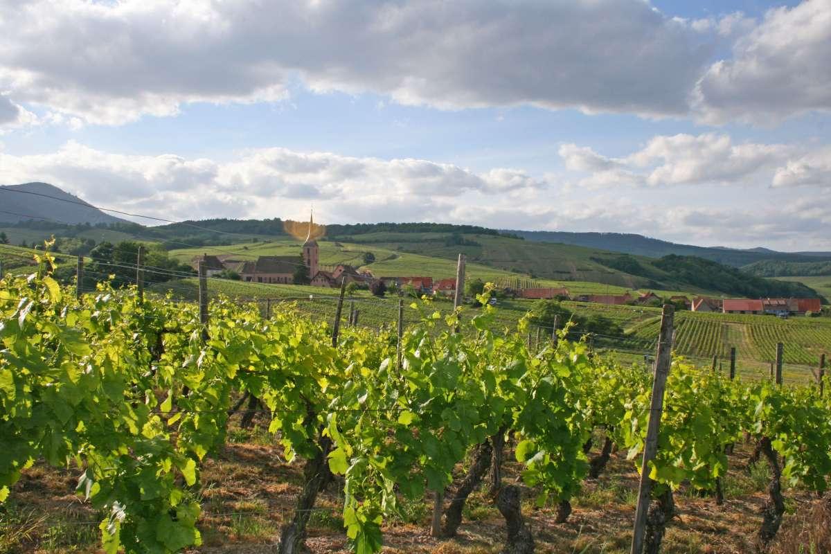 Vignobles alsaciens, Molsheim, sur la route des Vins d'Alsace
